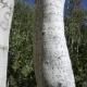 Arborglyphs Found in California